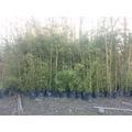 Plantas Bambu Bamboo