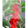 30 Semillas De Gladiolos Rojos Para Corte