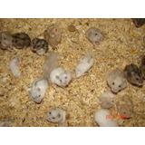 Hamster Rusos Al Detalle