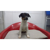 Fox Terrier Chileno Machos Y Hembras Pethome Chile
