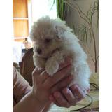 Poodle (micro) Toy - 2 Cachorros Inscritos