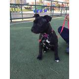 Staffordshire Bull Terrier, Cachorro Inscrito Liquidó