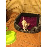 Machito Chihuahua Inscrito Kcc, Entrega Inmediata.