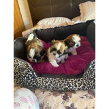 Bellísimos Machitos Shih Tzu Inscritos!! Kcc