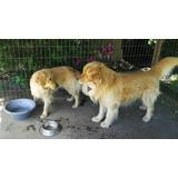 Cachorros Golden Inscritos