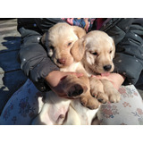 Venta De Cachorros Labrador