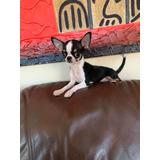 Chihuahua Macho Inscrito Kennel Club Chile!!!