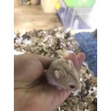 Hamster Ruso Mascota Barco De Animales