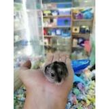 Hamster Chino Mascotas Barco De Animales