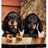 Hermosos Cachorros Salchicha Ultra Mini Y Finos