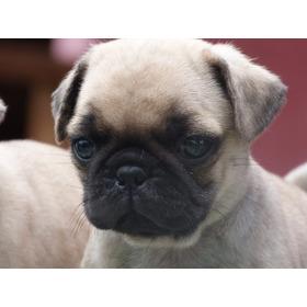 Cachorros Pug Carlino Microchip Y Garantía De Salud