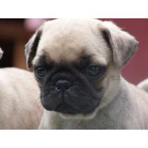 Cachorros Pug Con Microchip Y Certificado De Salud