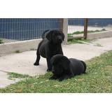 Labradores Inscritos