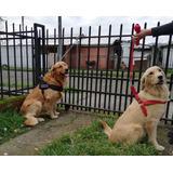Cachorros Golden Retriever, Ix Región