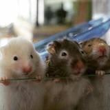 Hamster Golden Mascota Barco De Animales