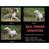 Bull Terrier Miniatura Pedigri / Especializada En La Raza.