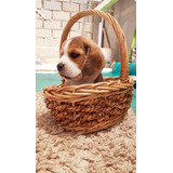 Cachorra Beagles Inscrita En Kennel Club, Vacunada Microchip