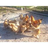 Huevos Fertilez De  Gallinas Brahma