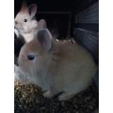 Conejos De Raza Enanos Solo Mascota.