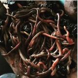 Lombrices Californeanas - Núcleo De 300 Lombrices