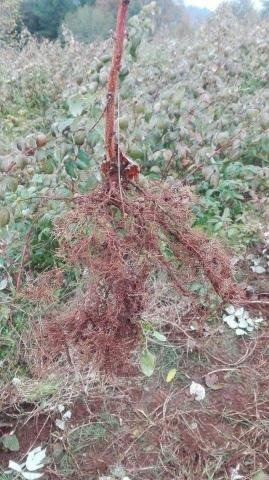 Plantas De Frambuesas