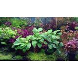 Plantas Acuario , Plantas Acuaticas