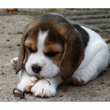 Preciosos Cachorros Beagle Enano Tricolor