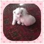 Cachorros Maltes Blancos Puros