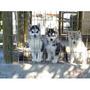 Siberianos Cachorros