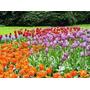 Semillas De Flor Tulipanez