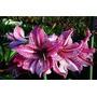 Semillas Amaryllis Pack Flores Exoticas