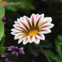 Semillas Daisy Pack Flores Exoticas