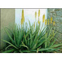 Plantas Aloe Vera, El Verdadero Medicinal De Flor Amarilla
