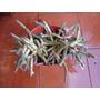 Cactus Con Macetero A Solo $3500