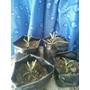 Planta Aranto - Kalanchoe Draigemontiana 5 A 8 Cm.