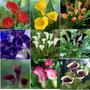 Flores Calas Espectaculares Colores Mix De Semillas