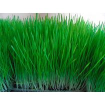 Venta De Semillas Orgánicas De Trigo (wheatgrass)