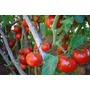 Semillas - Tomate Gigante