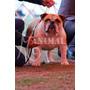 Joven Campeon Chileno Bulldog Inglés Para Cruza!!!