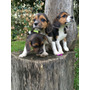 Cachorros Beagle Tricolor Hembras