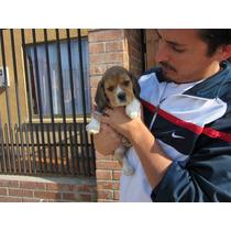 Ultimas 2 Hermosas Beagles Inscritas