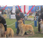 Cachorros Golden Retriever Hijos De Champion. Inscritos!!!