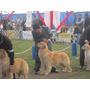 Cachorros Golden Retriever Línea De Campeones. Inscritos!!!