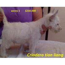 West Highland White Terrier No Inscritos