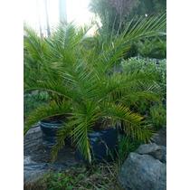 Palmeras Trachicarpus, Phoenix, Coco Plumosa, Washingtonia