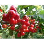 Semillas Orgánicas Tomate Cherry 250 X 5.000 + Envío