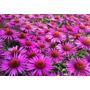 Semillas De Echinacea, Flor Medicinal, Envío Gratis + Manual