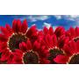 Semillas De Girasol O Maravilla Roja, Envío Gratis