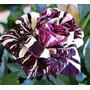 Semillas Rosas Exoticas Mix Colores 20 Sem. Por $5.000