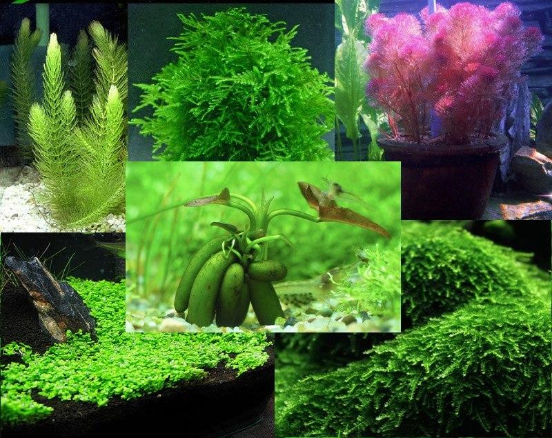 Semillas de plantas de acuario mix 17 variedades for Plantas de acuario
